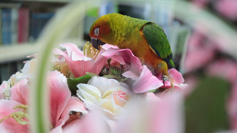 Lovely and colorful parrot is in my office royalty free stock photo