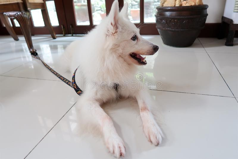 My lovely Japanese Spitz pet dog royalty free stock images