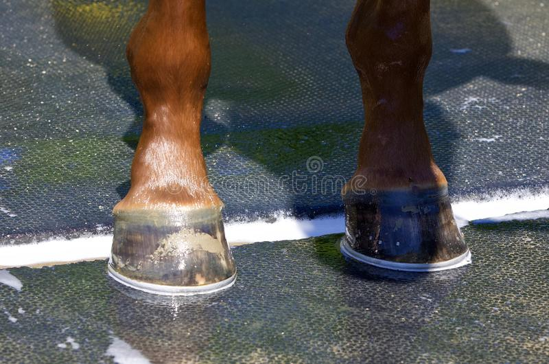 My New Irish Danzing Shoes. Super chestnut filly Irish Danzing, getting her bath after her morning workout on the Oklahoma training track at historic Saratoga royalty free stock photos