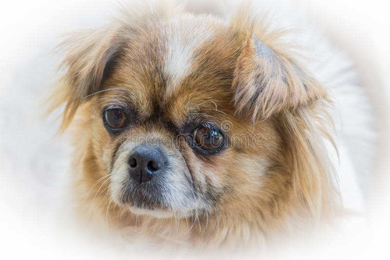 Spotted pekingese. My old little friend. , , , , dog, pet stock photos