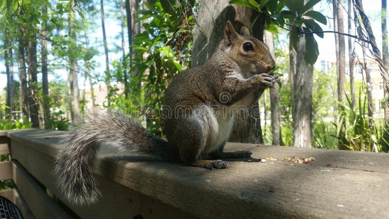 Majestic Squirrel Eating royalty free stock photos