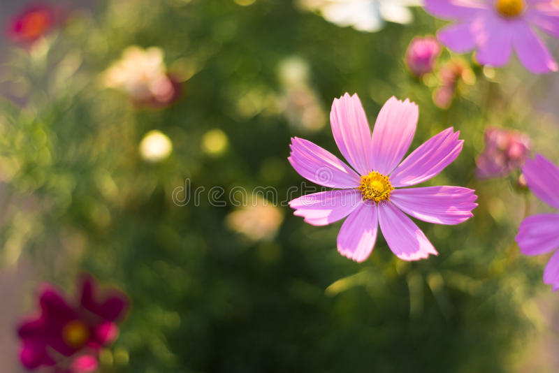 My Pink Flowers royalty free stock images