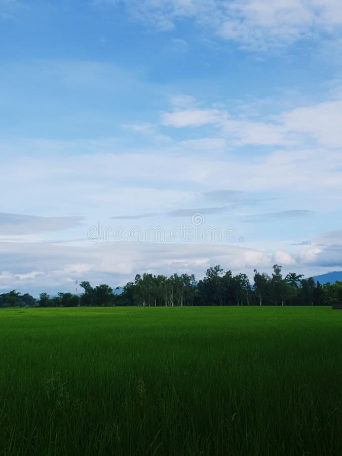 My rice field. My, rice, field, sky, tree, green stock images