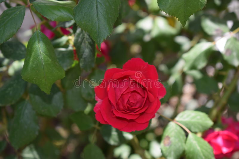 My rose!! royalty free stock photography
