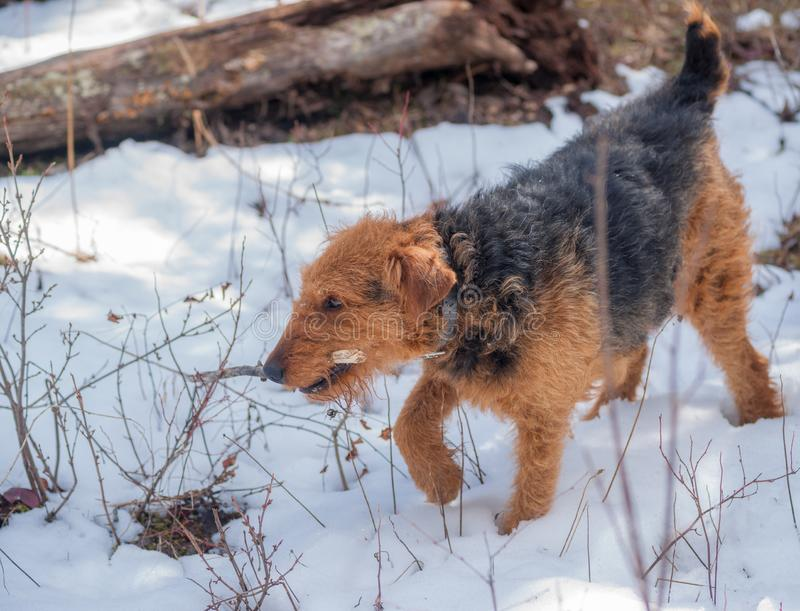 It is my Stick!. An Airdale Terrier is trying to hide his successfully retained wooden stick from the competition stock photo