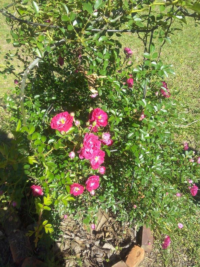 My terrific 40 year old rose bush royalty free stock photo