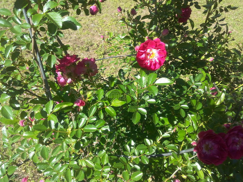 My terrific 40 year old rose bush stock images