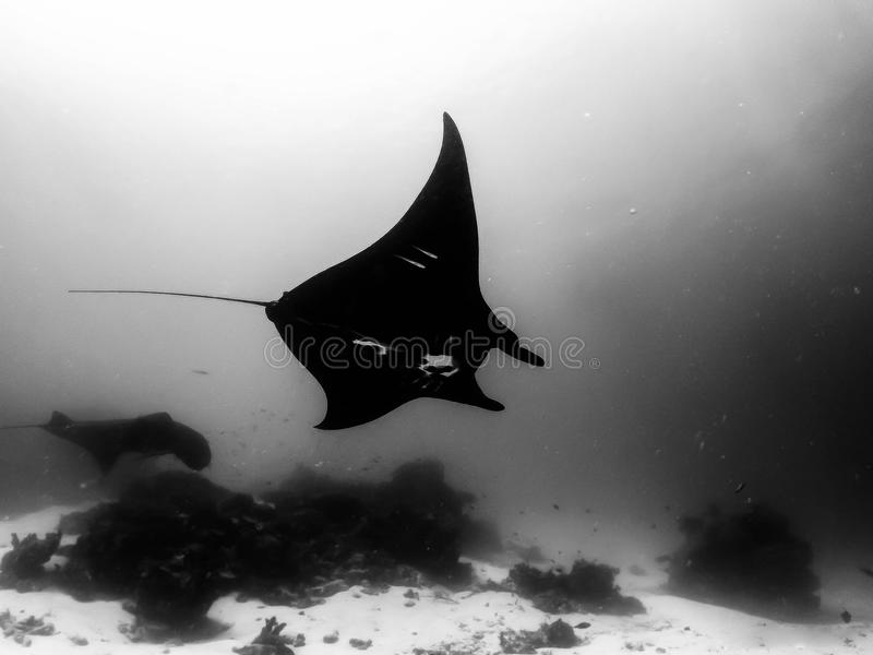 Manta Ray in a peaceful glide in Indonesia waters royalty free stock photography