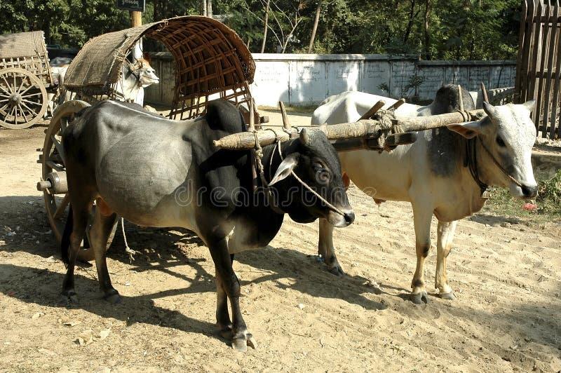Myanmar, Bagan: Carro de buey foto de archivo