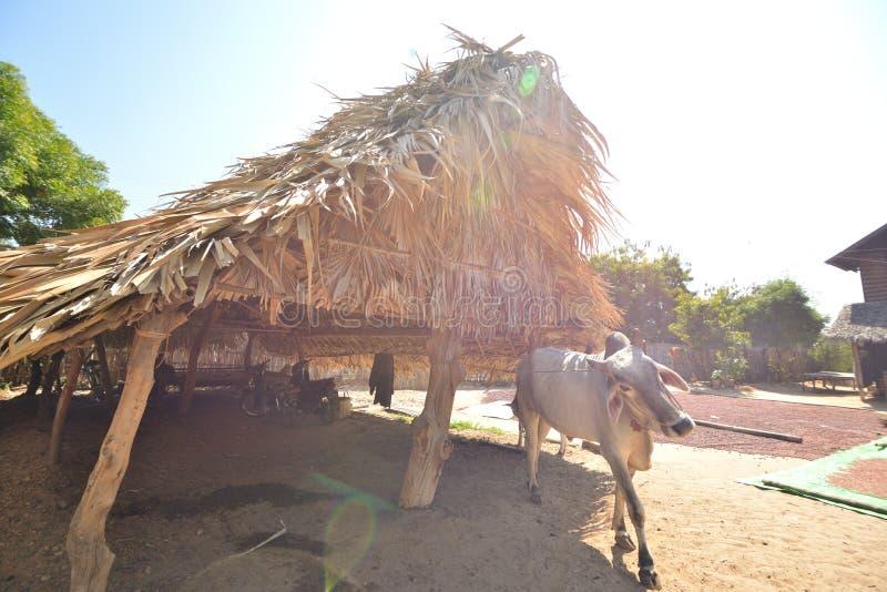 Myanmar Bagan cottage farm cow house stock photography