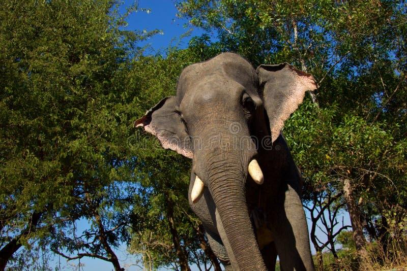 Myanmar elefant arkivfoton