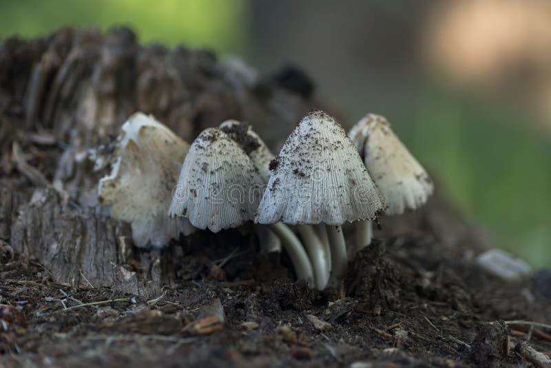 Mycète blanc photographie stock libre de droits