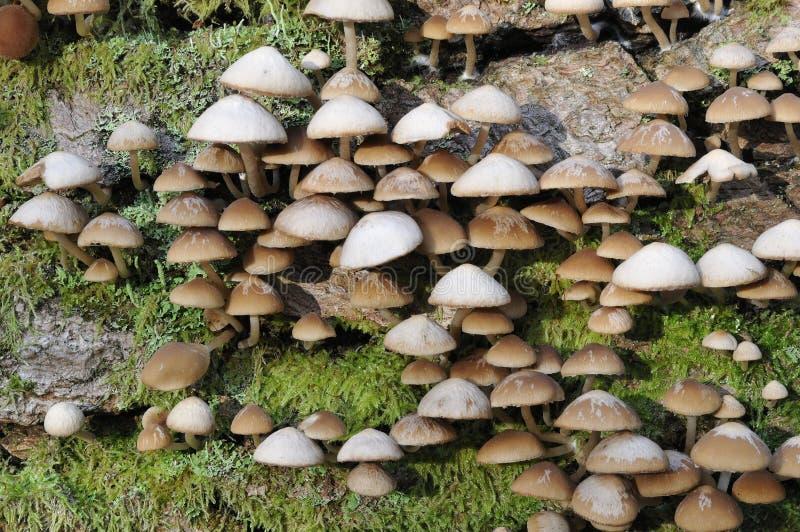 Mycète commun de Brittlestem de tronçon images stock