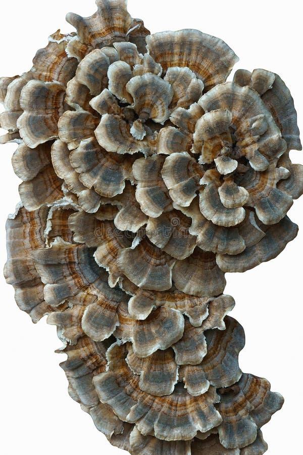 Mycète de Turkeytail photographie stock
