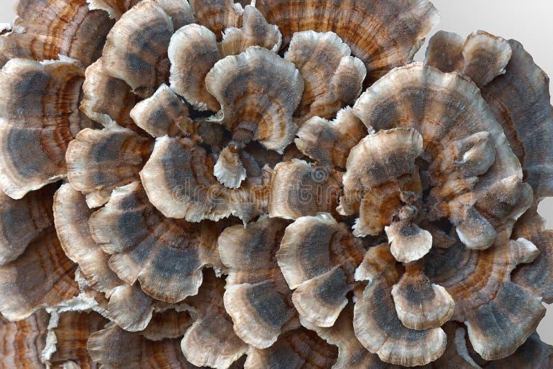 Mycète de Turkeytail photo libre de droits