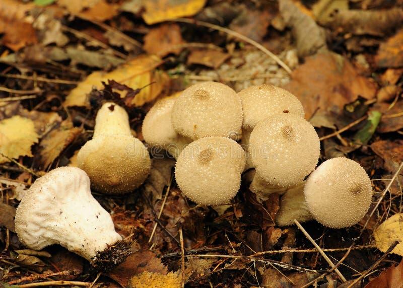 Mycètes communs de Puffball (perlatum de Lycoperdum) photos stock