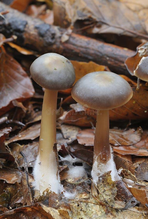 Mycètes de capuchon de beurre - butyracea de collybia photo stock