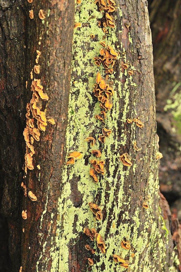 Mycètes parasites d'arbre (crispa de Plicatura) images libres de droits