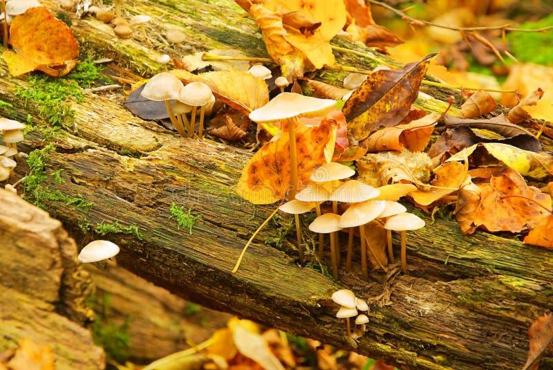 Mycena galericulata zdjęcia stock