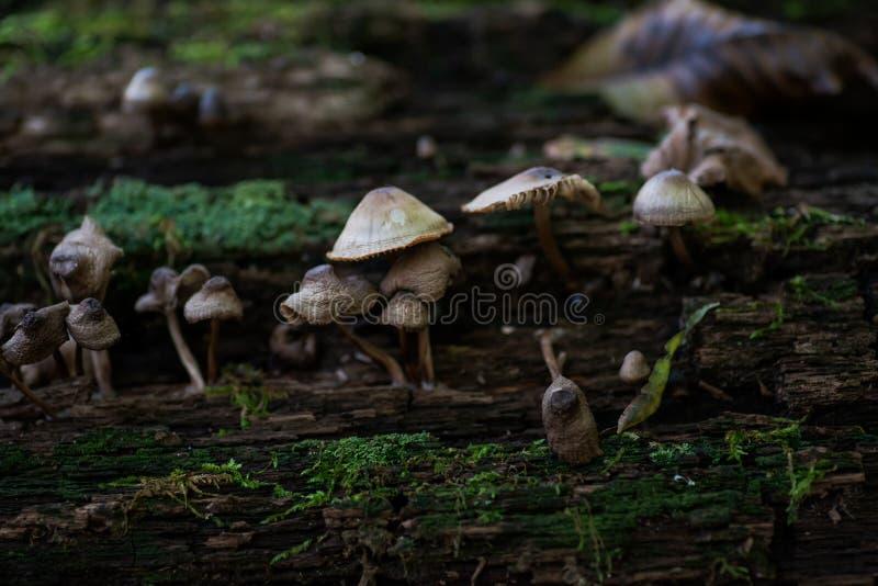 Mycena, hongos venenosos, pequeñas setas saprotrophic en árbol muerto en bosque imágenes de archivo libres de regalías
