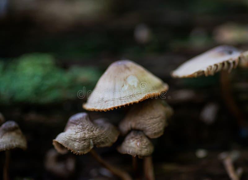 Mycena, hongos venenosos, pequeñas setas saprotrophic en árbol muerto en bosque imagen de archivo libre de regalías