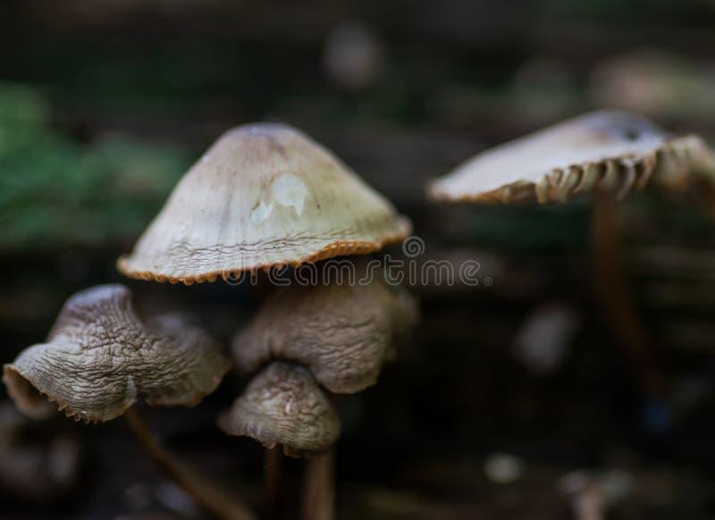 Mycena, hongos venenosos, pequeñas setas saprotrophic en árbol muerto en bosque fotos de archivo libres de regalías