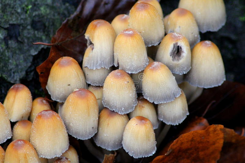Mycena renati. Group brown fungus, with white stem growing in forest in the Netherland royalty free stock image