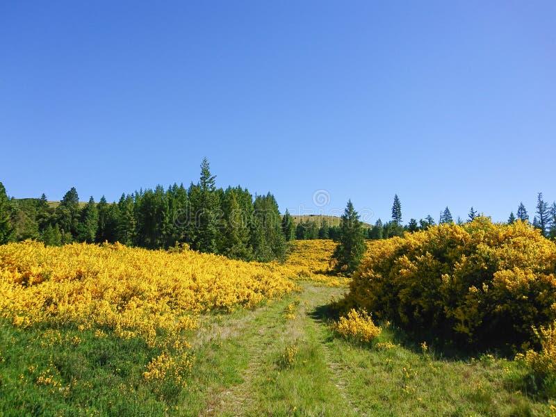 Mycket av det gula blommafältet med klar blå himmel arkivfoton