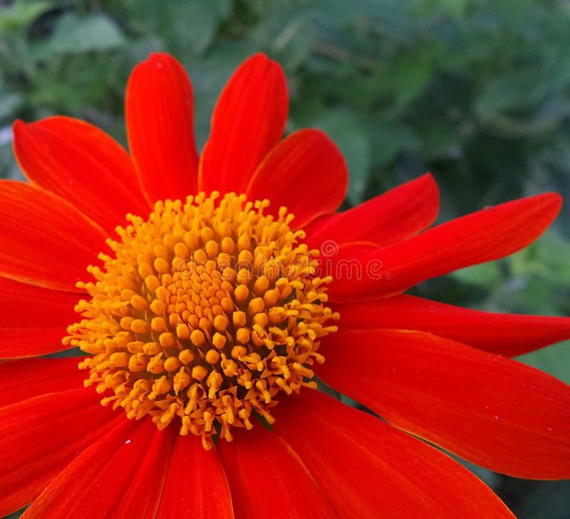 Mycket blomma den röda orange Maxican solrosen fotografering för bildbyråer