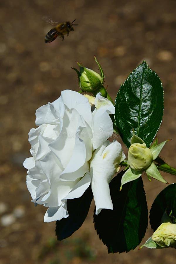 Mycket blomstra den vita blomman och tre knoppar av rosa vita Tausendschon, Paul 1913 som flyger västra honungbiApis Mellifera i  royaltyfria bilder