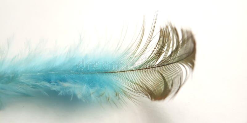 Mycket enkel begreppsmässig makro, svart blå fjäder på vitt, Representating av Softness, försiktigt och ljust royaltyfri bild