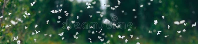 Mycket fjärilar för vit kål flyger på den soliga sommardagen royaltyfri foto