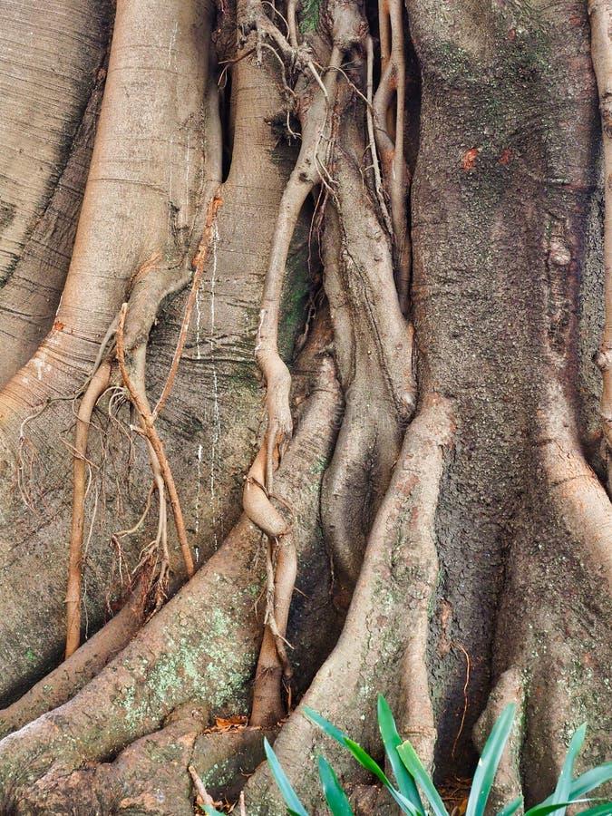 Mycket gammal Moreton fjärdfikonträd, Sydney, Australien royaltyfria bilder