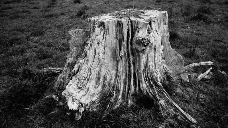 Mycket gammal ruttna trädstubbe på den Waikato lantgården arkivbilder