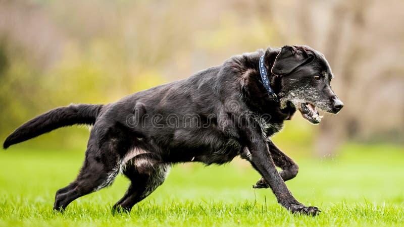 Mycket gammal svart labrador som kör över gräs med den öppna munnen royaltyfria foton