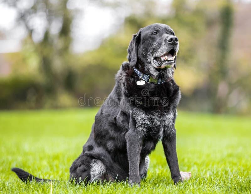 Mycket gammal svart labradorstående som sitter på gräs med träd fotografering för bildbyråer