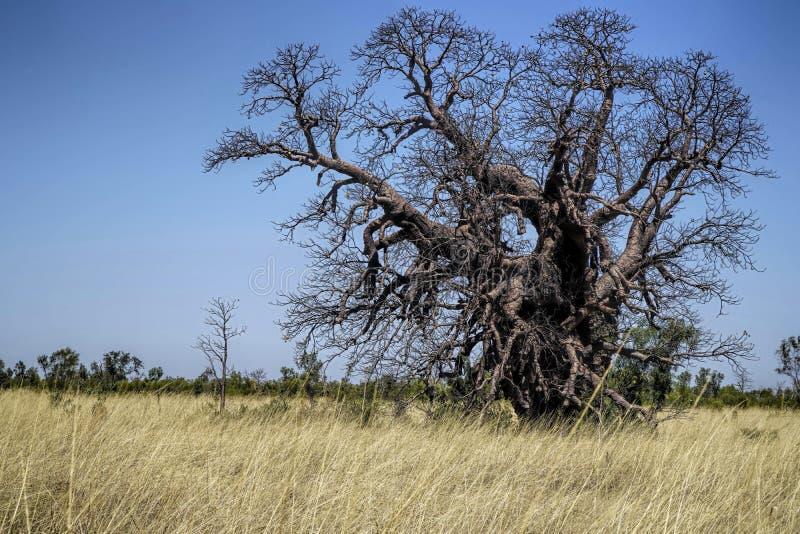 Mycket gammalt Boab träd royaltyfria foton