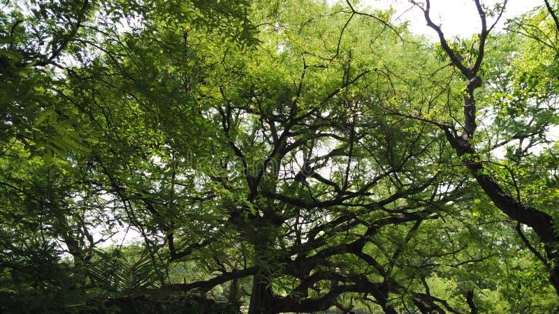 Mycket gammalt tamarindfruktträd royaltyfria bilder
