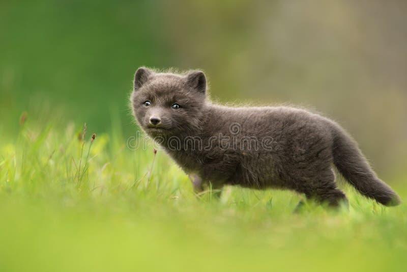 Mycket gullig blå gröngöling för arktisk räv för morf som bara står i ängen royaltyfri bild