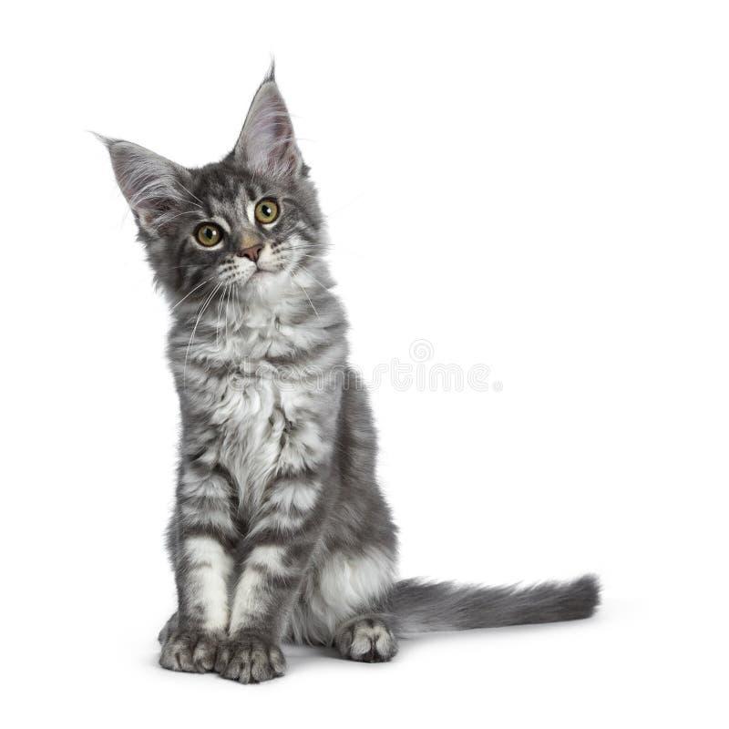 Mycket gullig blå kattunge för strimmig kattMaine Coon katt som isoleras på vit bakgrund royaltyfri fotografi