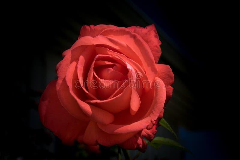 Mycket härlig enkel röd ros med mörk bakgrund arkivfoton