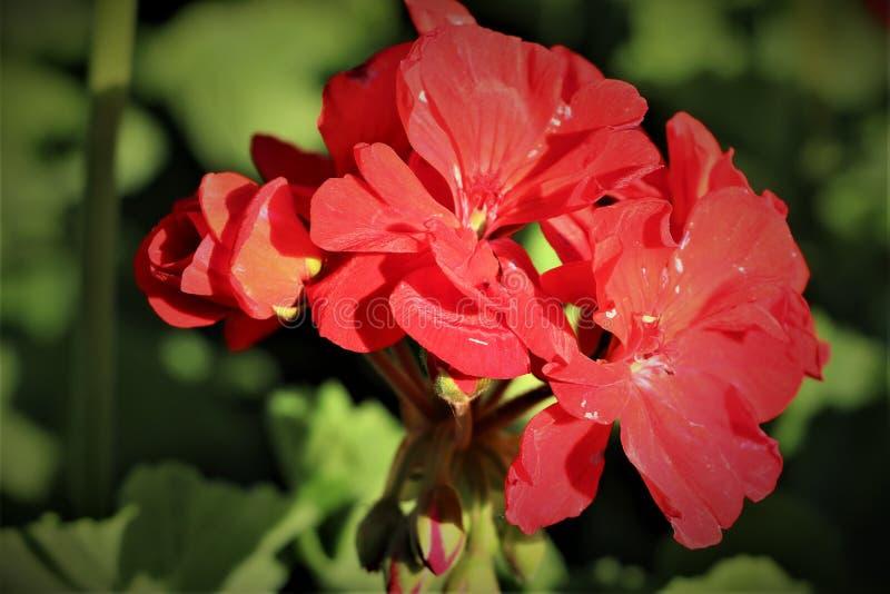 Mycket härlig röd blomma som blommar med grön lövverk arkivbild