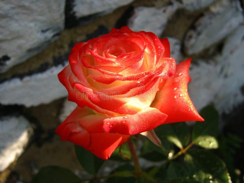 Mycket härlig röd ros med daggdroppar royaltyfria foton