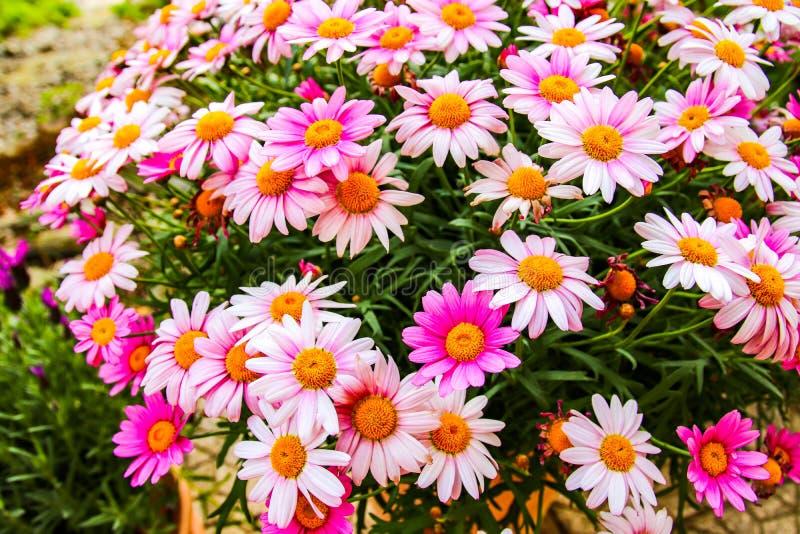 Mycket härliga färgrika blommor i vår arkivfoton