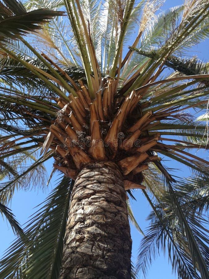 Mycket hög palmträd royaltyfri foto
