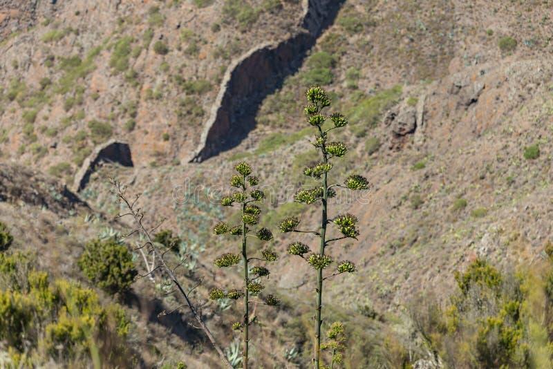 Mycket hög stam av att blomma agaveblomman med många groddar Berglutningar av den Teno massiven, snitt vid ett lager av den fasta fotografering för bildbyråer