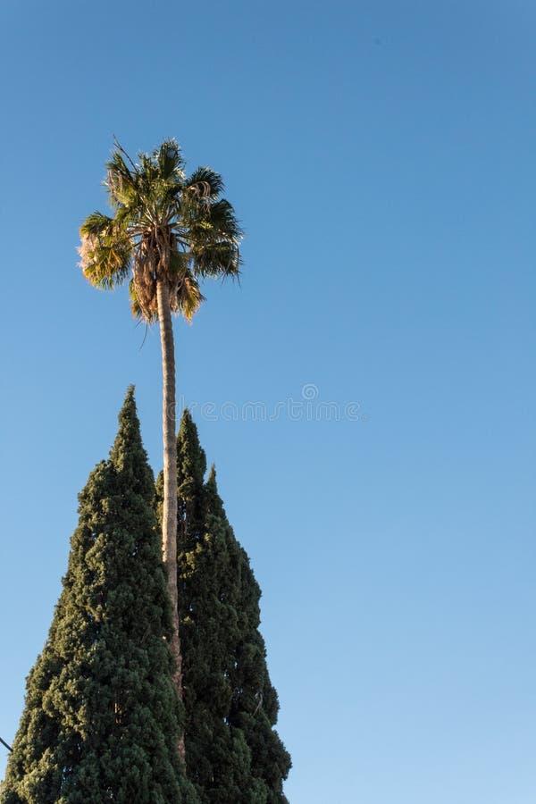 Mycket högväxt Washingtonia fanpalmträd som flankeras av två träd för italiensk cypress mot en blå himmel royaltyfri fotografi