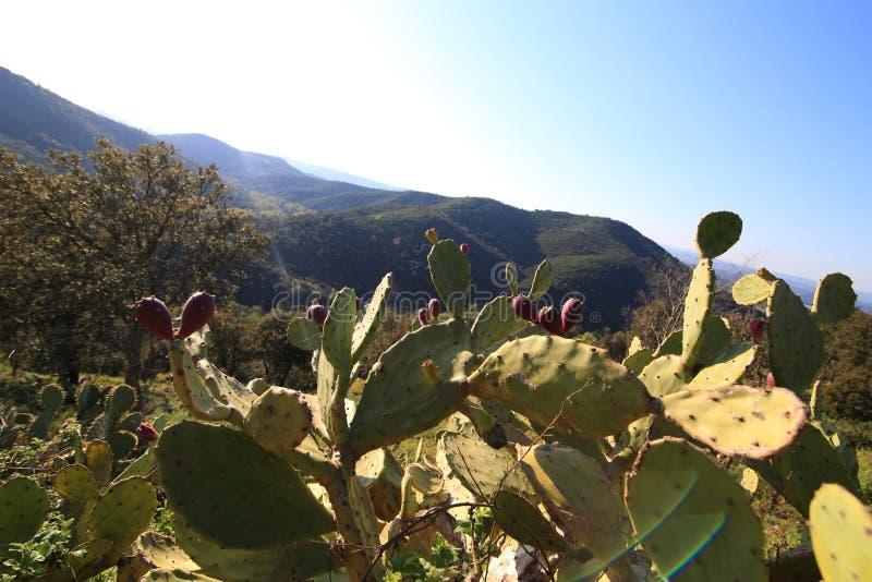 Mycket kaktus royaltyfri bild