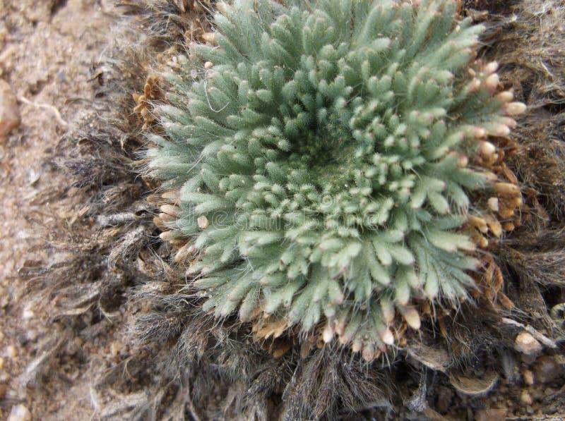Mycket liten alpin växt fotografering för bildbyråer