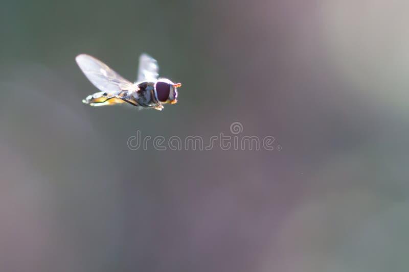 Mycket liten arbetsam fluga som svävar mot en klar bakgrund royaltyfria foton
